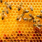 Solution to Bee Population Woes Includes Probiotics