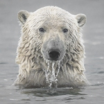 Polar Bears at Risk From Toxic Chemical Exposure